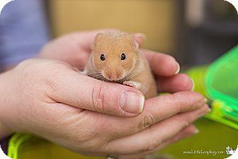 Hamster for adoption in Manhattan, Kansas - Bev