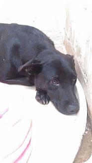 Labrador Retriever Mix Dog for adoption in Darlington, South Carolina - Nora