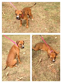 Boxer Mix Dog for adoption in Waldron, Arkansas - CHAMP URGENT!!! IN A/C++++++