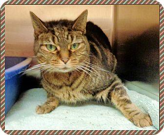 Domestic Shorthair Cat for adoption in Marietta, Georgia - GRACIE