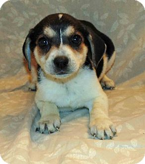 Beagle/Terrier (Unknown Type, Small) Mix Puppy for adoption in Washington court House, Ohio - Dancer