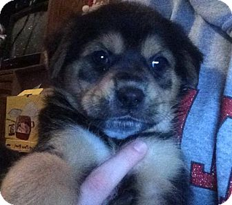 Shar Pei Mix Puppy for adoption in WESTMINSTER, Maryland - Peanut