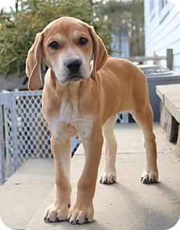 Hound (Unknown Type)/Labrador Retriever Mix Puppy for adoption in Westport, Connecticut - *Ty - PENDING