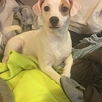Adopt A Pet :: Icey - Cameron, NC