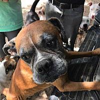 Boxer Dog for adoption in Austin, Texas - Whiskey