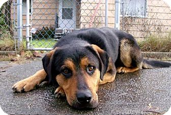Rottweiler/German Shepherd Dog Mix Dog for adoption in Tacoma, Washington - Memphis