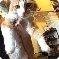 Adopt A Pet :: TIGER MEOW MEOW - Brea, CA