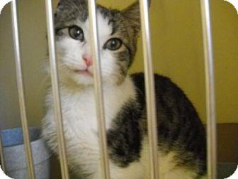 Domestic Shorthair Kitten for adoption in Trenton, New Jersey - Murphy (RE)