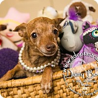 Adopt A Pet :: Daisy Boo - Newport, KY