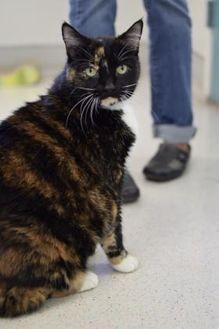 Domestic Shorthair/Domestic Shorthair Mix Cat for adoption in Santa Barbara, California - Libby