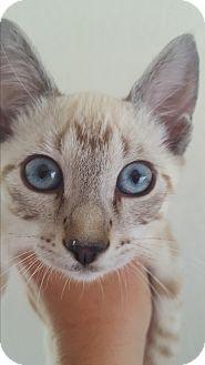 Siamese Kitten for adoption in Weatherford, Texas - Sami