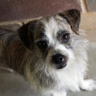 Chihuahua/Terrier (Unknown Type, Small) Mix Dog for adoption in Waco, Texas - Snoopy