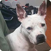 Adopt A Pet :: Bacon - Baltimore, MD