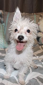Terrier (Unknown Type, Small) Mix Puppy for adoption in los Angeles, California - Dory
