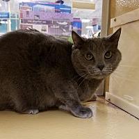 Adopt A Pet :: Blue (& Pumpkin) - Herndon, VA