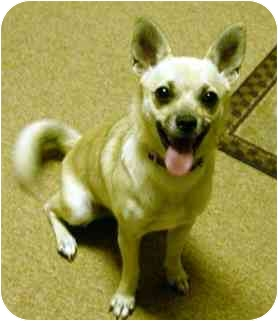 Chihuahua Mix Dog for adoption in Osseo, Minnesota - Pansy