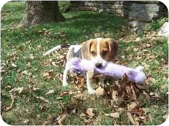 Beagle Puppy for adoption in Taylor Mill, Kentucky - Jake