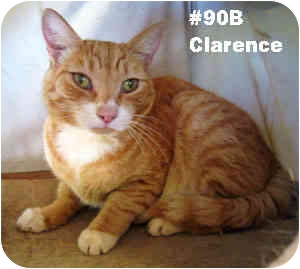 Domestic Shorthair Cat for adoption in Puunene, Hawaii - Clarence