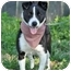 Photo 4 - Border Collie Mix Puppy for adoption in Portsmouth, Rhode Island - Charee