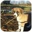 Photo 2 - Beagle/Labrador Retriever Mix Puppy for adoption in Adamsville, Tennessee - Bo (pending)
