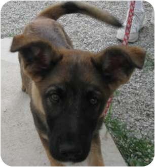 German Shepherd Dog/Australian Shepherd Mix Puppy for adoption in Aurora, Indiana - Cooper  **ADOPTED**