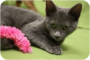 Russian Blue Kitten for adoption in Chicago, Illinois - Breezy