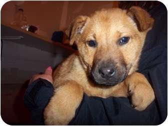 Golden Retriever Mix Puppy for adoption in Westminster, Colorado - Delaney