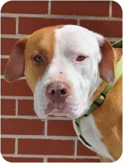 American Staffordshire Terrier/American Bulldog Mix Dog for adoption in Atlanta, Georgia - Zappa
