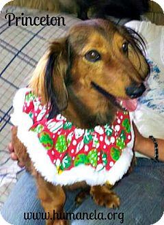 Dachshund Dog for adoption in Stow, Maine - Princeton