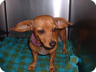 Dachshund Mix Dog for adoption in Sterling, Kansas - Rose