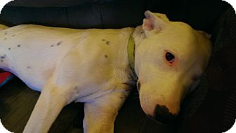 Dalmatian/Bull Terrier Mix Dog for adoption in Ft. Collins, Colorado - Star