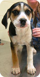 Boxer/English Bulldog Mix Puppy for adoption in Allentown, Pennsylvania - Sabrina