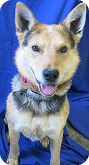 Australian Cattle Dog/Shepherd (Unknown Type) Mix Dog for adoption in Buena Vista, Colorado - Max