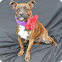 Adopt A Pet :: Checkers - Plano, TX