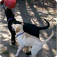Adopt A Pet :: Uno - Cumming, GA