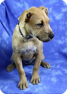 Border Terrier Mix Puppy for adoption in Westminster, Colorado - Pineda