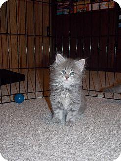 Domestic Longhair Kitten for adoption in Irwin, Pennsylvania - Ashlee