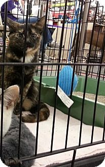Domestic Shorthair Cat for adoption in Jefferson City, Missouri - Tippy