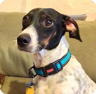 Pointer/Rat Terrier Mix Dog for adoption in Miami, Florida - Turbo
