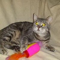 American Shorthair Cat for adoption in Iroquois, Illinois - El Gato