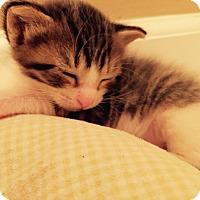 Adopt A Pet :: Frizzle - St. Louis, MO