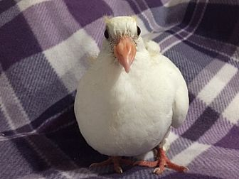 Pigeon for adoption in los Angeles, California - Jeffrey