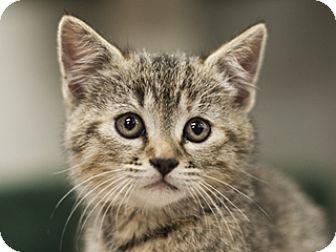 Polydactyl/Hemingway Kitten for adoption in Great Falls, Montana - Victoria