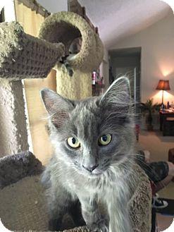 Russian Blue Kitten for adoption in Keller, Texas - Whitney