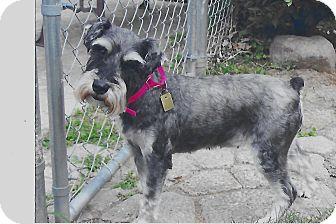 Miniature Schnauzer Dog for adoption in Sharonville, Ohio - Alma~~ADOPTION PENDING