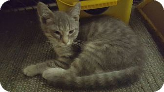 Domestic Shorthair Cat for adoption in Ortonville, Michigan - Marlin