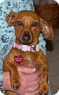 Dachshund Dog for adoption in Texarkana, Texas - Browni ADOPTED TX