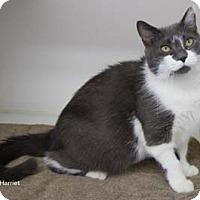 Adopt A Pet :: Harriet - Merrifield, VA