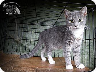 Domestic Shorthair Kitten for adoption in Marlinton, West Virginia - Lana