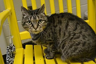 Domestic Shorthair Cat for adoption in Akron, Ohio - Gabby